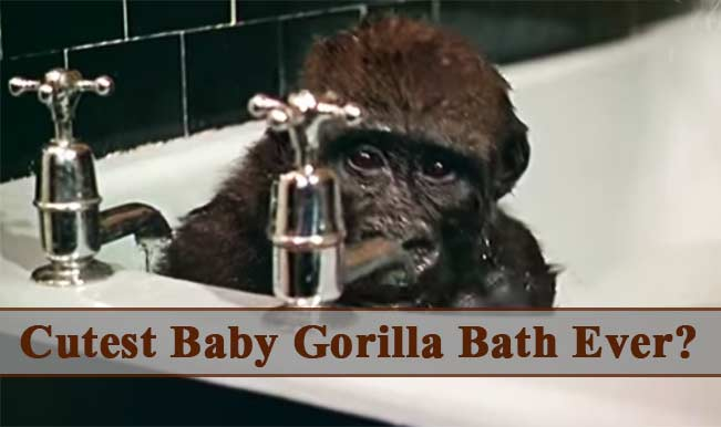 Cutest Animal Video Ever? This baby Gorilla and Chimpanzee's bathing clip will make you go aww!