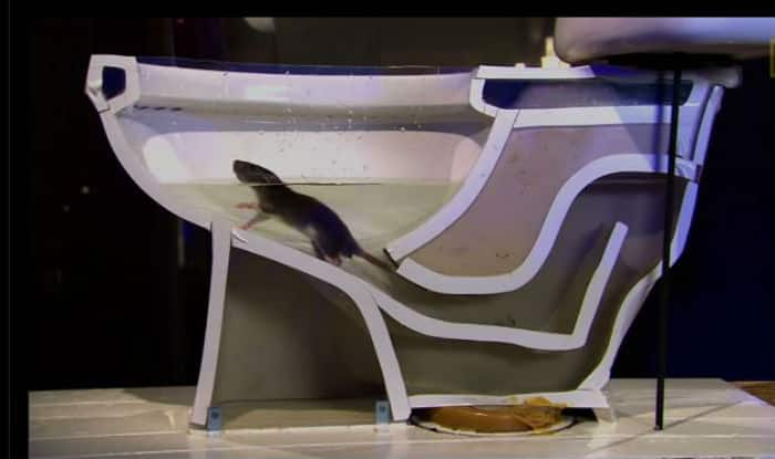 Beware! A rat can climb up through your toilet, here is how!