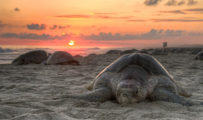 Students clean beach to facilitate mass nesting of Olive Ridley sea turtles