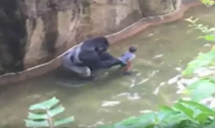 Toddler falls into Gorilla's enclosure. What happens next will shock you (Watch video)
