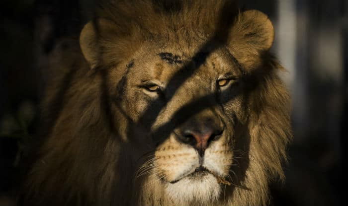 Lions attack man near Gir forests, spotted in Junagadh town in Gujarat (Video)