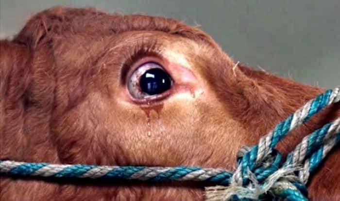 Haryana considering formation of Cow Protection Task Force