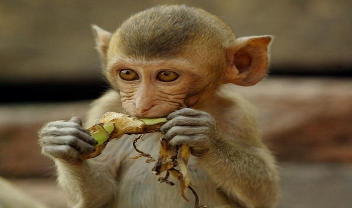 Four-month-old Dies in Uttar Pradesh. Monkey Behind The 'Murder'