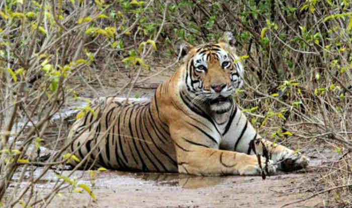Over a Third of Protected Areas in Asia Severely at Risk of Losing Tigers: Study