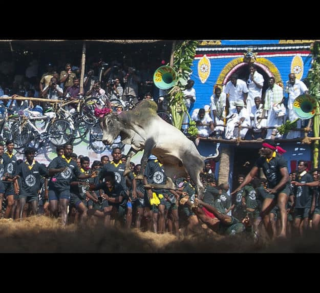 Jallikattu Event Live Streaming: Watch Sun News (Tamil) Telecast of CM Panneerselvam Inaugurating Bull taming Event at Madurai online