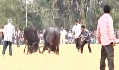 Assam: Banned buffalo fight organised in Nagaon district