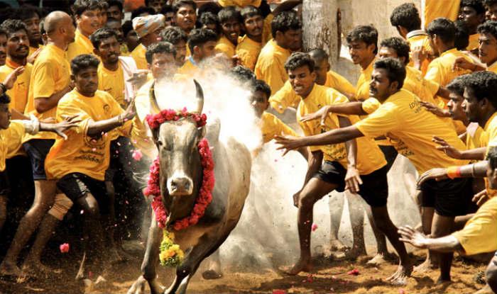 Jallikattu Event Live News Updates from Madurai:  Alanganallur event cancelled due to protests, O. Panneerselvam  will inaugurate sport at Natam Kovilpatti