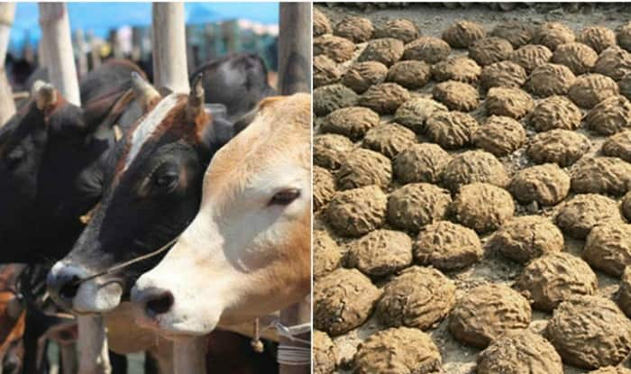 Cow dung  file photo