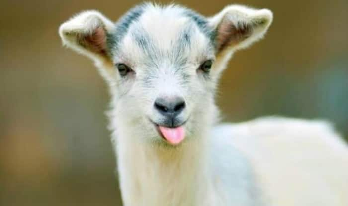 Bizarre! Goat chews Rs 66,000 notes of its owner in Kanpur, Uttar Pradesh