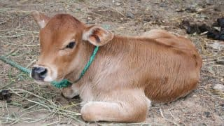 Cow Antibodies May Form Effective Vaccine For AIDS: Study