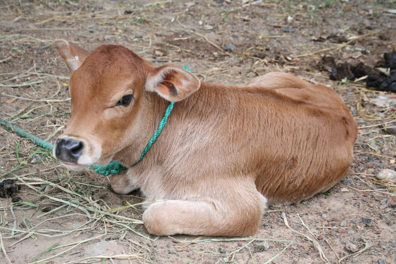 Madhya Pradesh: Man Beaten to Death on Suspicion of Cow Slaughter, Another Left Critically Injured