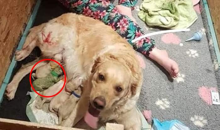 A Golden Retriever Has Given Birth to a Nine Puppies, Owner is Shocked as One of Them is Green!