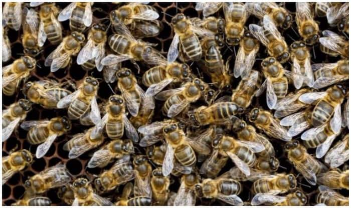 Researchers Find Honey Bees' Ventilation Strategy Behind Staying Cool in Congested Hives Despite Hot Summers