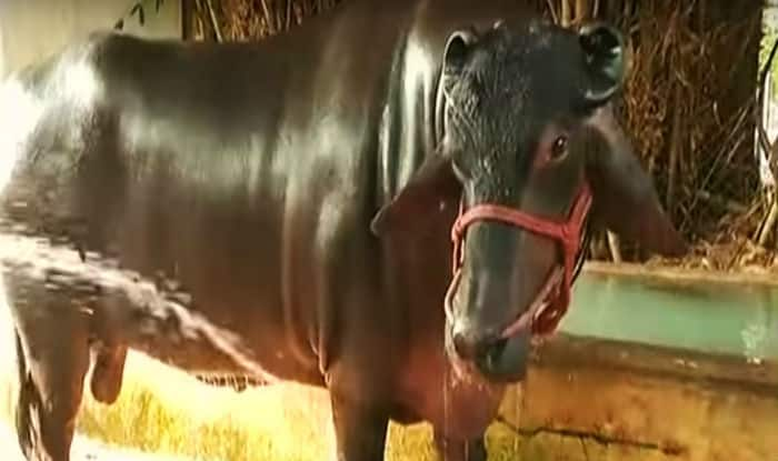 Haryana Animal Fair: Rs 25 Crore Bull 'Shahenshah', With 4 Bodyguards, Marks Its Attendance For Catwalk