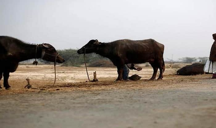 Gujarat: Truck Conductor Attacked by Gau Rakshaks For Illegally Carrying Buffaloes, Two FIRs Registered