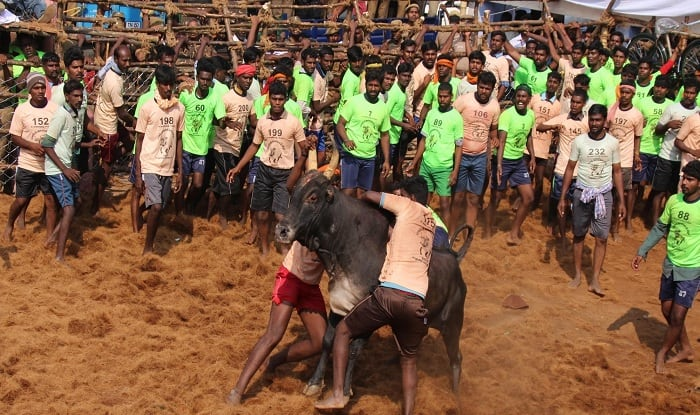 Jallikattu Images And Key Things to Know About Tamil Nadu's Bull-Taming Sport