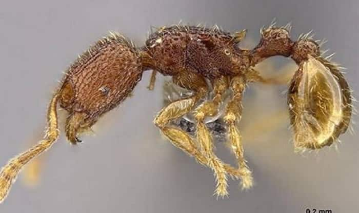 Scientists Discover Two New Species of Endemic Ants in Andaman Islands