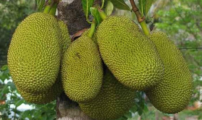 Jackfruit Prices Shoot Up as Non-Vegetarians in India Switch To 'Kathal'  Due to Coronavirus Scare   India.com