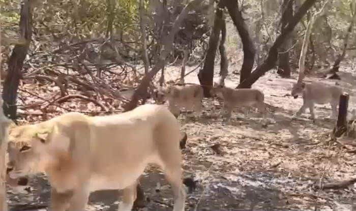 King of Jungle on Street: Herd of Lions Crossing a Road in Gujarat's Gir Forest Area Captured on Video