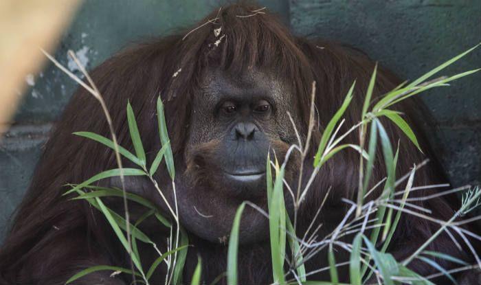 Oldest Sumatran Orangutan Dies
