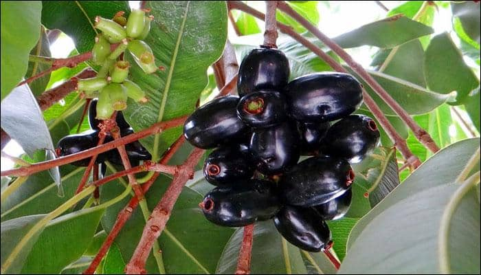 Why Jamuns Are Good For You