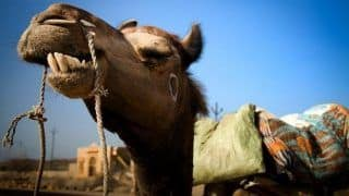 Australia to Kill Up To 10,000 Camels Amid Wildfires Because They Drink Too Much Water