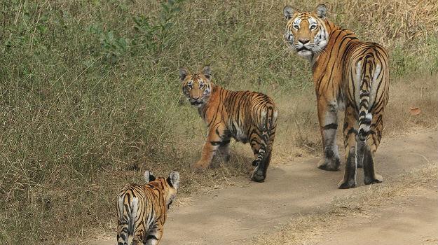Pench tiger 1.