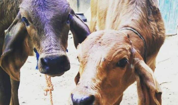 Uttar Pradesh Government to Introduce Cow Welfare Cess of 0.5 Per Cent