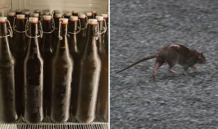 Rats Drinking Beer in Bihar