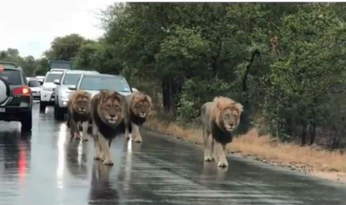 Lions take over busy road