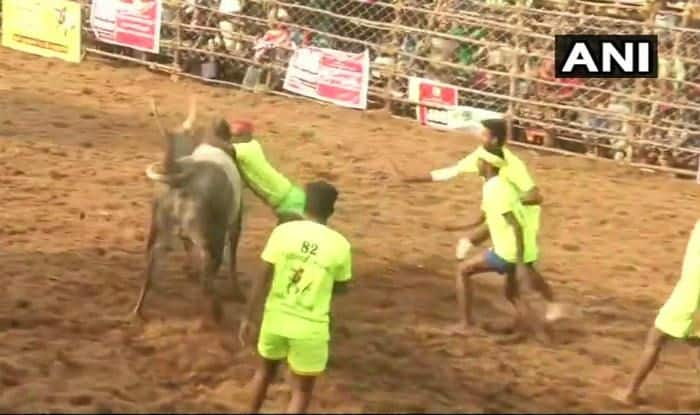 Tamil Nadu: Jallikattu Continues in Madurai; 57 People Injured Till Now