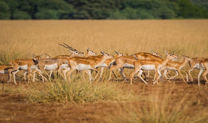 Tal Chhapar Sanctuary: A Wildlife Getaway From Jaipur