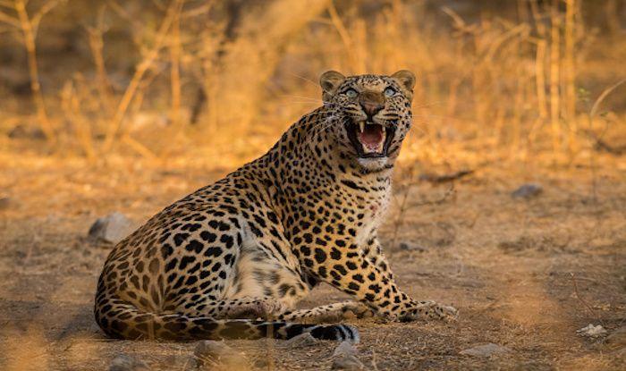 Jaipur's Jhalana Wildlife Park: A Haven For Leopards