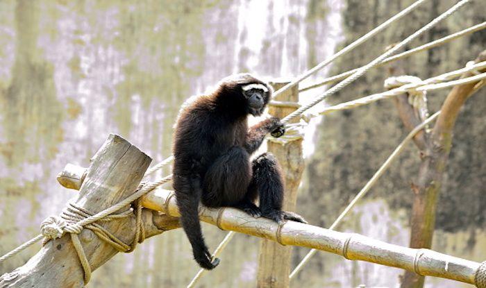 Hoollongapar Gibbon Sanctuary: Home to India's Only Ape Species