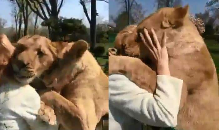 Viral Video: Woman Gets Hugs & Kisses From Lions When She Visits Them at Zoo After Bringing Them up as Cubs