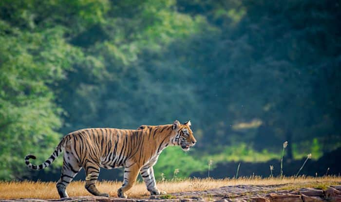 International Tiger Day: Where to Spot Tigers in India
