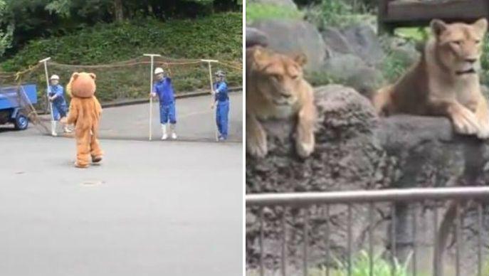 Japan Zoo performs lion escape drill
