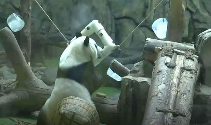 Giant Pandas Play With Ice Cubes in China to Beat The Heat, Watch Viral Video