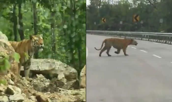 Tiger Crossing National Highway And Jumping Crash Barrier Triggers a Debate on Wildlife Conservation- Watch Video