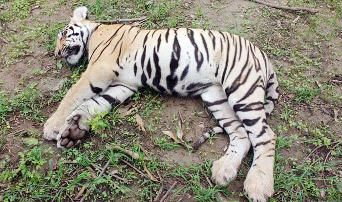 Maharashtra: Tigress, Two Cubs Found Dead Near Drain, Inquiry Ordered to Ascertain Cause