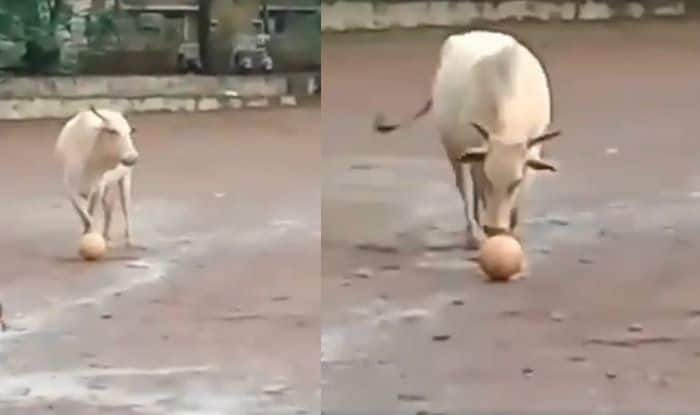 Cow Plays Football With Men in Goa, Funny Video Goes Viral on Internet