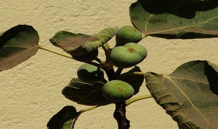 Eat Anjeer (Fig) Everyday to Keep Your Weight Under Control