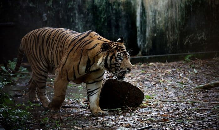 Bengaluru: Man-eating Tiger on Loose; Drones, Elephants Deployed to Trace it
