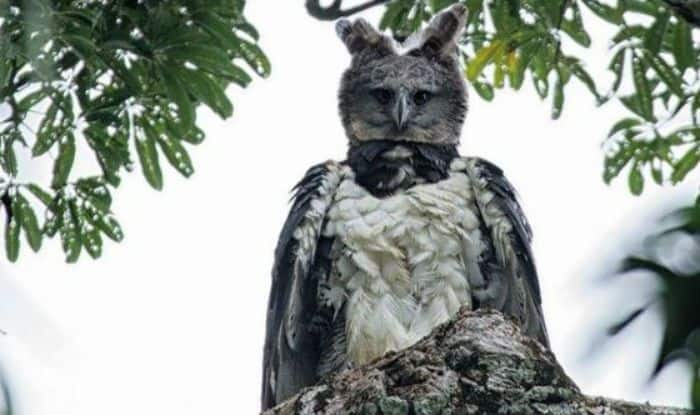 Huge Harpy Eagle: Twitterati Think This Mega Bird Looks Like a Man in Costume- Take a Look