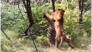 Viral Video: Two Tigers Fight Brutally Over a Tigress in Ranthambore National Park