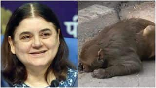 Netizens Laud Maneka Gandhi After She Comes to the Rescue of An Injured Monkey