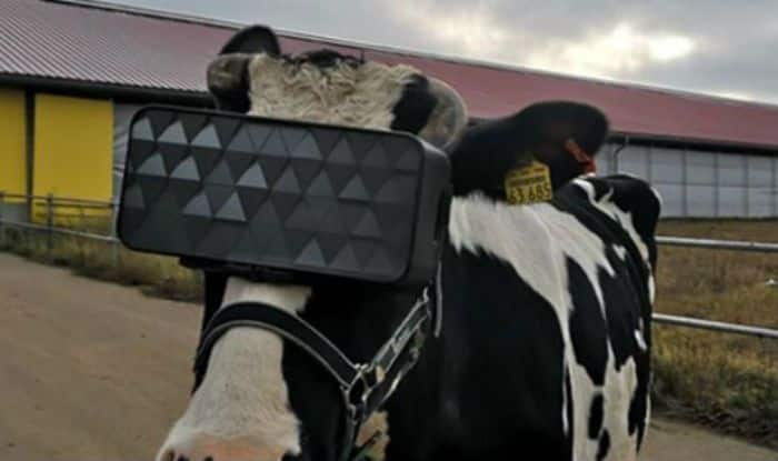 Russian cow