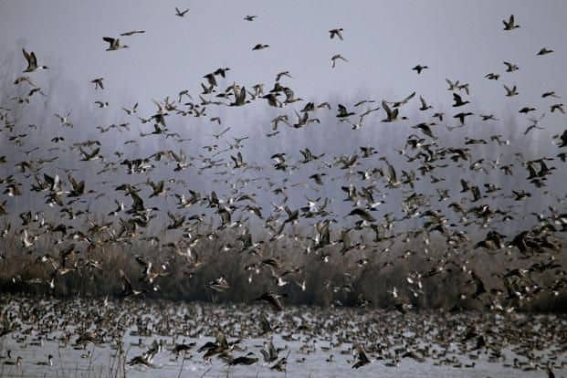 Thousands Of Migratory Birds Die Mysteriously In Rajasthan's Sambhar Lake, Locals Baffled