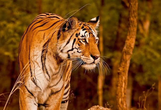 Watch | Tigress Chases a Tourist Vehicle in Ranthambore National Park, Video Goes Viral