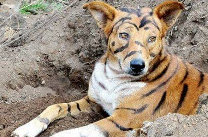 https://static.india.com/wp-content/uploads/2019/12/farmer-paints-his-dog-to-look-like-a-tiger-to-scare-monkeys.jpg